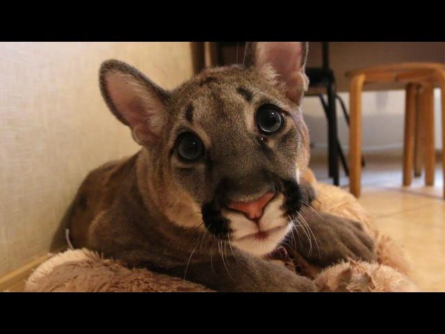 Пум Пумыч скучает по маме / Просто 8 минут няшности с большим котёнком ;)