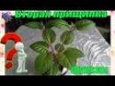 Прищипка комнатного растения фуксии в домашних условиях. 2-я прищипка