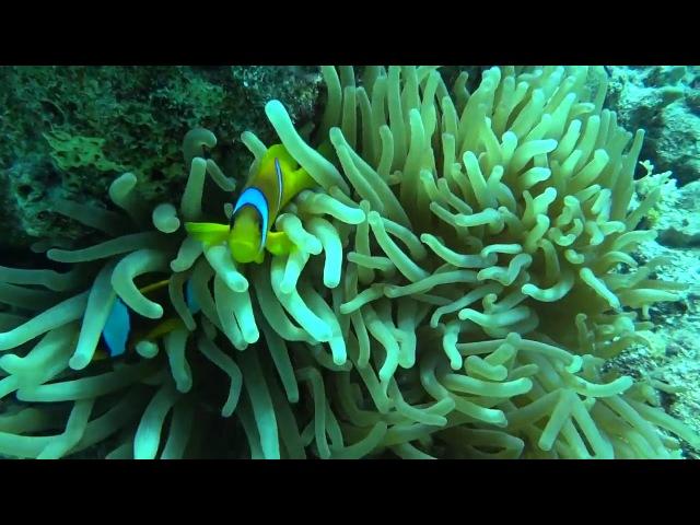 Египет красное море, март 2016 Egypt Red Sea ,Clown fish,Актинии , March 2016