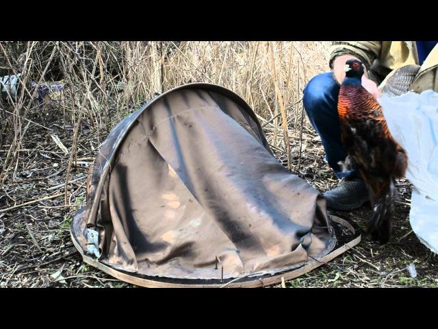 ловушка на фазана «фаэтон» в действии (ещё одна)