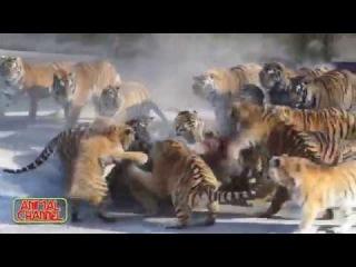 육식 동물 먹이 먹는 영상, 살아있는 먹이 투하, 사냥 등..지금껏 본 동물 영상 &#5147