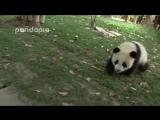 Няшные панды