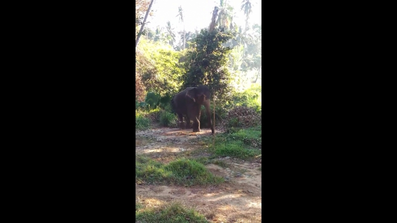 слон танцует