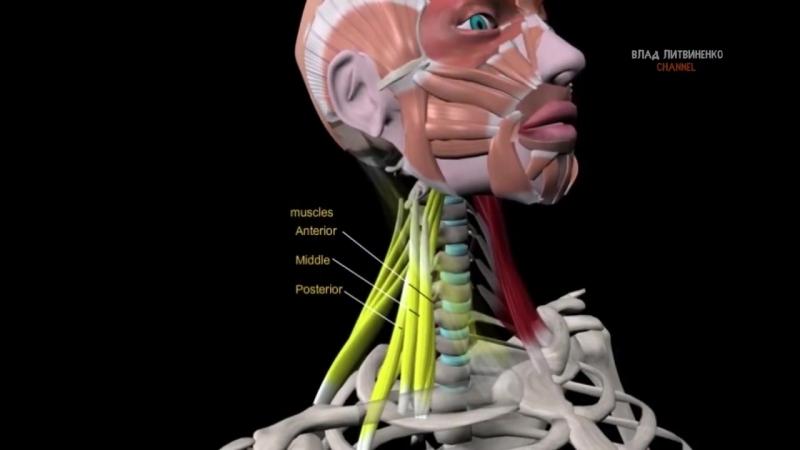 ТРАПЕЦИЯ и МЫШЦЫ ШЕИ. 10 ФАКТОВ. Биомеханика, Тренировки, Анатомия