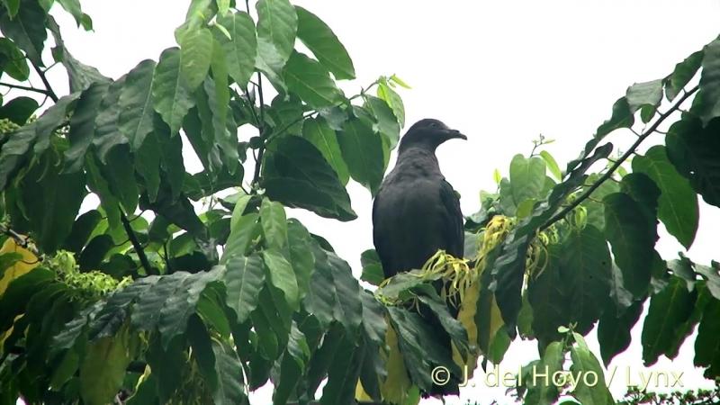 Маркизский плодоядный голубь / Marquesan imperial pigeon или Upe (лат. Ducula galeata)