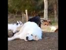 Козлята и собачка