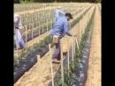 подвязка помидоров