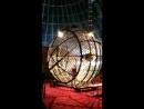 Лиана в цирке Шапито Корона