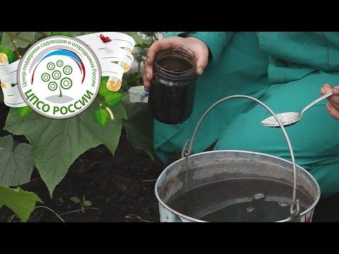 5.Выращивание огурцов. Корневая подкормка растений огурца в теплице.