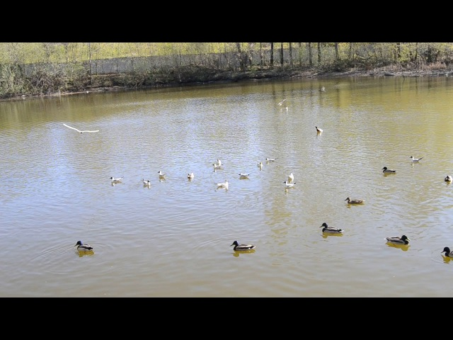 Лебедь - царь птиц, чайки - марадеры