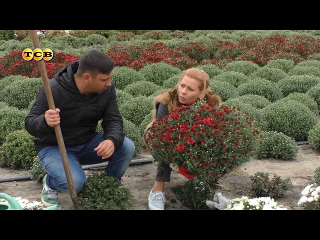 Хризантема мультифлора 6 соток 09 10 2017