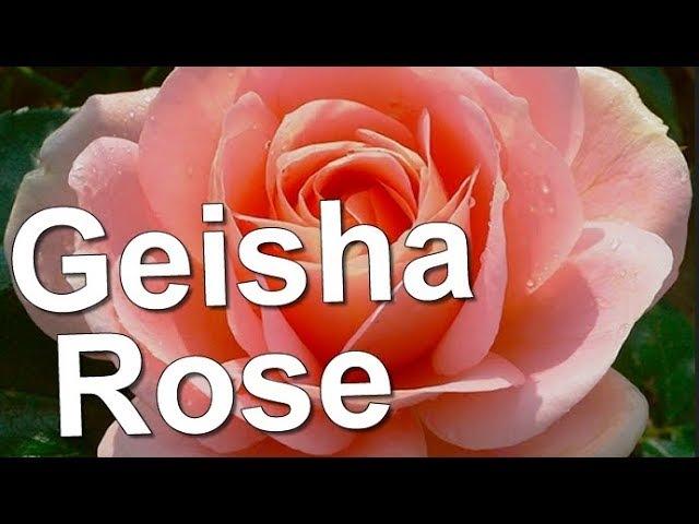 Geisha Rose Tantau