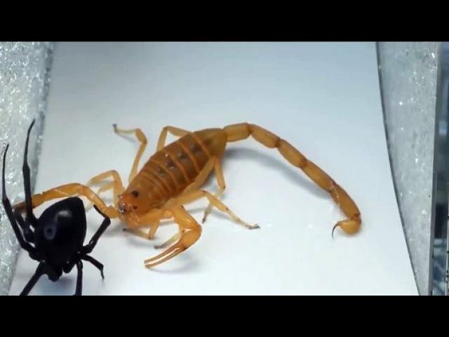 Black Widow vs Scorpion