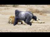 Baboons Territory VS Lion Territory - (Wild Animals Fighting)