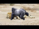 Baboons Territory VS Lion Territory Wild Animal Attacks 2