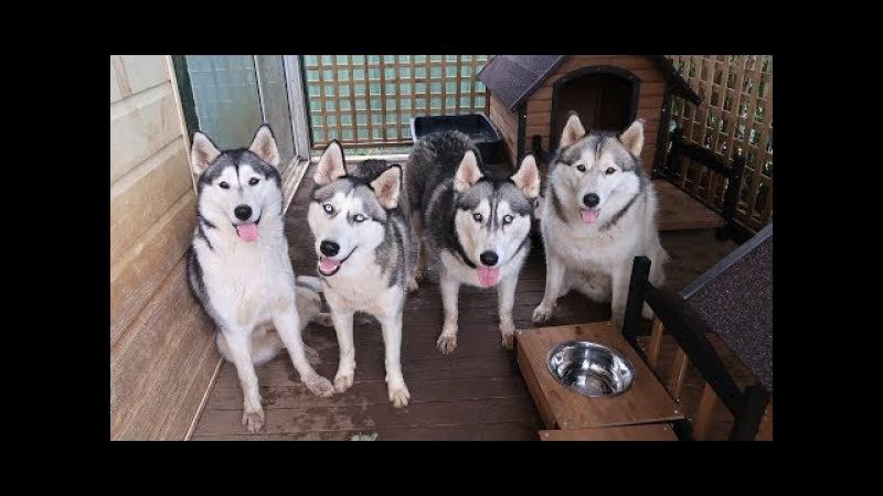 4 HUSKIES GET NEW DOG HOUSES BEST HARNESSES FOR HUSKIES? HUSKYOWNERPROBLEMS   VLOG!