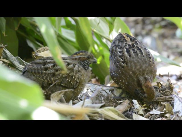Spotted Wood-Quail / Хохлатый лесной перепел / Odontophorus guttatus