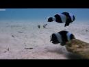 Ничто не может остановить семейство, которое работает вместе 💙..невероятный saddleback clownfish..... поведение бывает полно