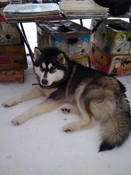 Добрый вечер, может потерял кто собаку Хаски мальчик, 3 дня  уже у дом
