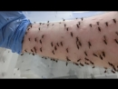Mosquito blood feeding time-lapse
