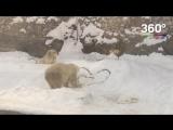 Медведи отметили День Святого Валентина