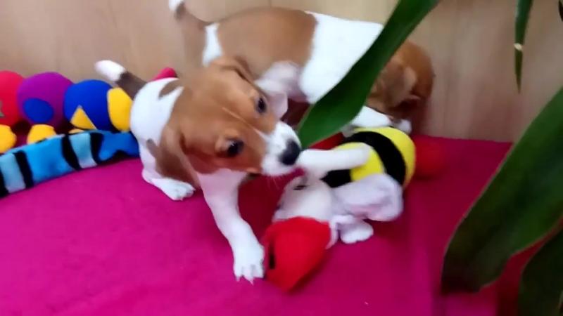 Зарочкины щеночки Джек-Рассел терьер
