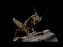 Phyllocrania paradoxa L3 Трапезничает