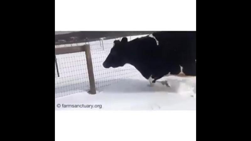 Корова принялась танцевать, впервые увидев снег