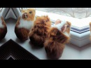 Top Guinea Pigs 🔴 Cute Guinea Pig Video Compilation - Cobayas Adorables Video Recopilacion