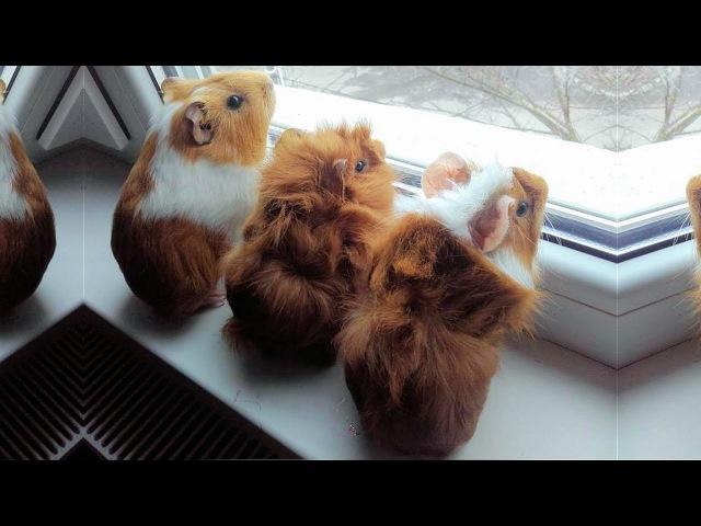 Baby Guinea Pigs 🔴 Cute and Funny Guinea Pig Videos Compilation (2018) Cobayas Adorables Video