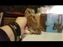 Чёртик из коробочки. Маленькая сова сплюшка. (Otus scops)