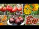 Редкие коллекционные сорта томатов самые вкусные урожайные и необычные