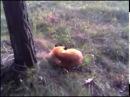 Спящая лиса. Охота .Прикол на охоте. joke sleeping fox