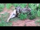 Питон проглотил оленя за 90 мин