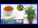 Propiedades medicinales de la ruda Beneficios curativos de la ruda