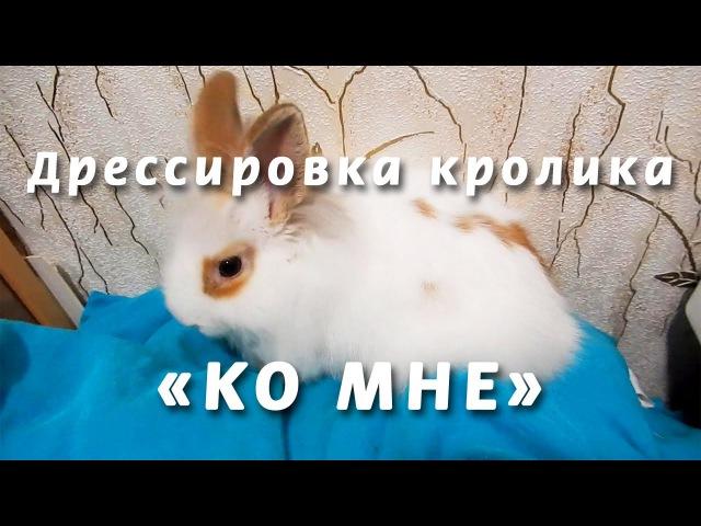 Дрессировка кролика – Команда «Ко мне» Часть2 Training rabbit