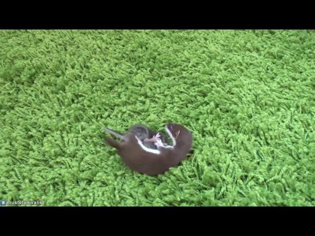 Месячный детёныш ласки и мышь - One month old baby weasel(Mustela Nivalis) and mouse.