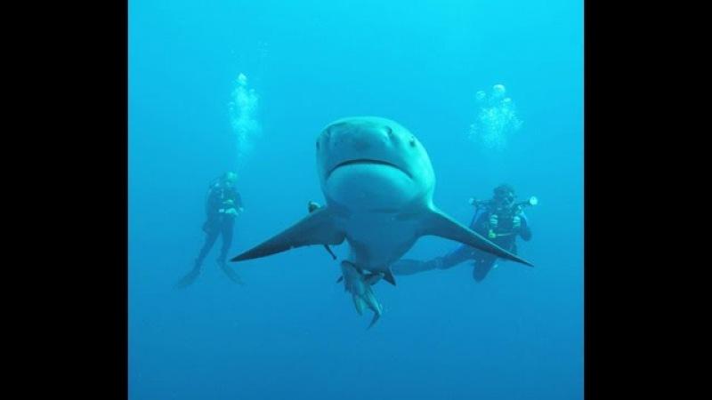 Тупорылая Акула: Самые опасные животные океана - Документальный фильм 20 05 2016