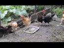 Куры в курятнике Видео для детей