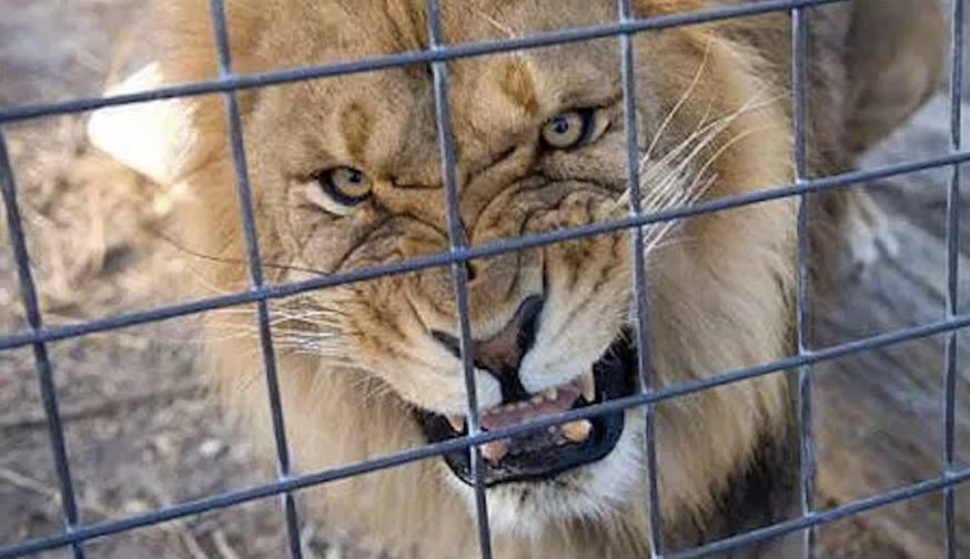 В зоопарке Лев покалечил ребенка