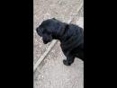 Домашняя собака метиска лабрадора