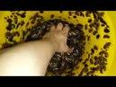 Мраморные тараканы nauphoeta cinerea. Lobster cockroaches. 03.01.2017
