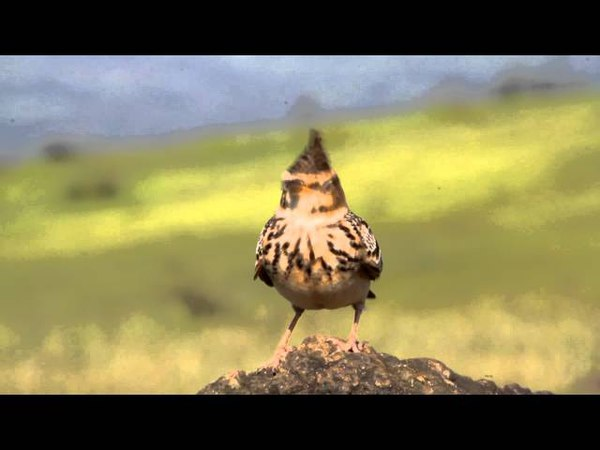 Song of malabar crested lark