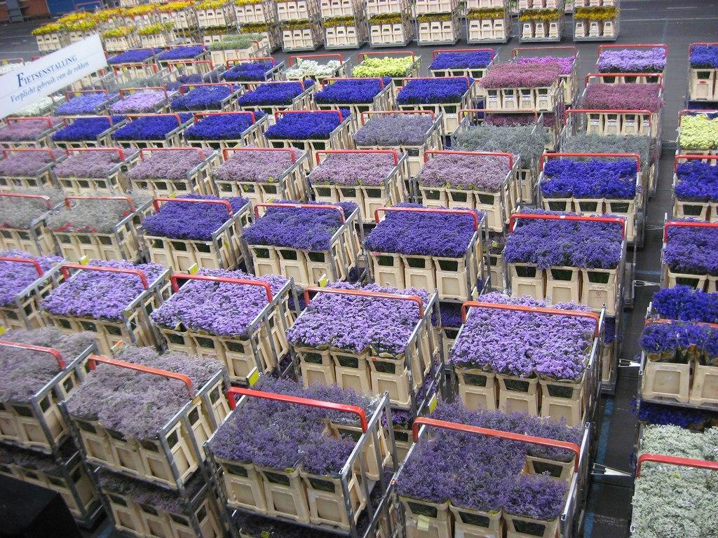 Заказ цветов из голландии с аукциона, роз