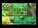Чистотел сок Заготовка лечение Лечитесь но будьте осторожны это ядовитое растение