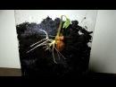 Прорастание семени Растение в видео Phaseolus coccineus
