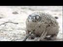 Самое милое существо на земле австралийская дождевая лягушка