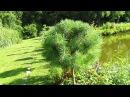 РЕЗУЛЬТАТ ОБРЕЗКИ СОСНЫ. Формирование кроны сосны (ч.2)./How to pruning pine