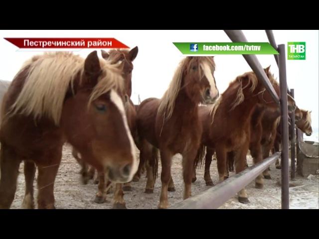 Кумыс в районы республики и восстановление исчезающей старо-татарской породы лошадей - ТНВ