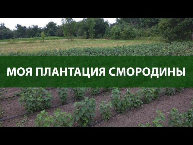 Моя мини плантация смородины )